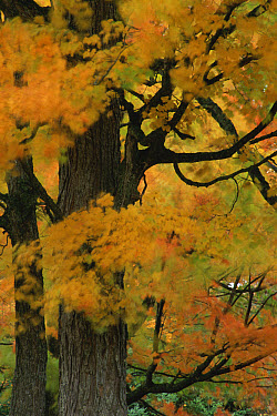 Autumn tree leaves abstract, Michigan  -  Larry Michael/ npl