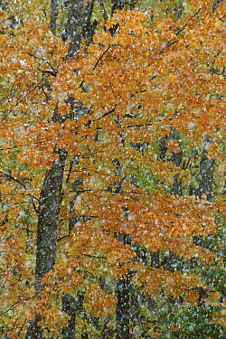 Autumn trees and snow abstract, Michigan  -  Larry Michael/ npl