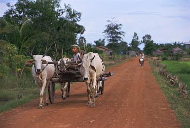 Cattle cart on road through Kampuchea village, Cambodia  -  Cameron Hansen/ npl