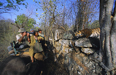 Bengal Tiger (Panthera tigris tigris) interacting with tourists on Asian Elephant (Elephas maximus) both endangered species, Bandhavgarh National Park, India  -  Francois Savigny/ npl