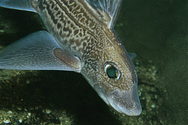 Rabbit Fish (Chimaera monstrosa) can eject poison from dorsal fins, Trondheimsfjord, Norway  -  Florian Graner/ npl