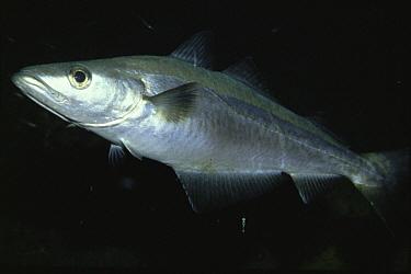 Pollack (Pollachius pollachius) a common commercially caught fish, Josenfjord, Norway  -  Florian Graner/ npl