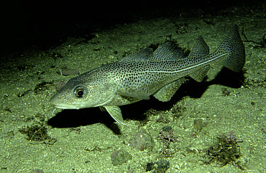 Atlantic Cod (Gadus morhua) on ocean floor, Tysfjord, Berents Sea, Norway  -  Florian Graner/ npl