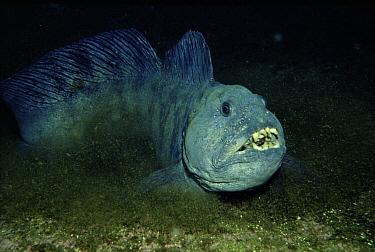 Atlantic Wolffish (Anarhichas lupus) showing teeth, Sognefjord, Norway  -  Florian Graner/ npl