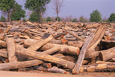 Teak (Tectona grandis) logs for sale, Madhya Pradesh, India  -  Ashok Jain/ npl