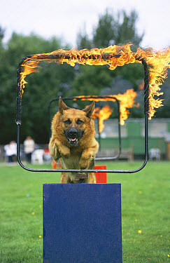 German Shepherd (Canis familiaris) leaping through fire ring in display, United Kingdom  -  Colin Seddon/ npl