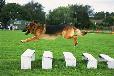 German Shepherd (Canis familiaris) dog jumping long jump, United Kingdom  -  Colin Seddon/ npl