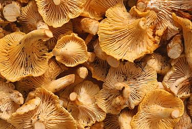 Chanterelle (Cantharellus cibarius) mushrooms for sale in market, Catalonia, Spain  -  Juan Manuel Borrero/ npl