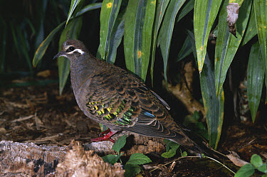 Common Bronzewing (Phaps chalcoptera) pigeon portrait, native to Australia  -  David Tipling/ npl