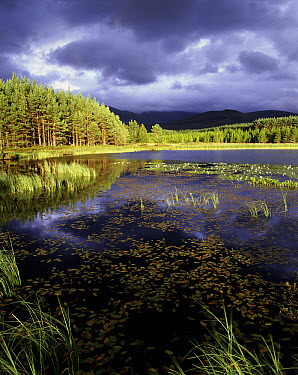 Loch Beinn and pine forest with storm clouds, Strathspey, Highlands, Scotland  -  Pete Cairns/ npl