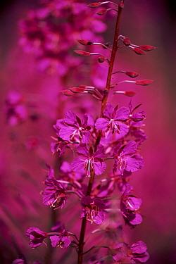 Fireweed (Chamerion angustifolium) in bloom, Scotland  -  Brian Lightfoot/ npl
