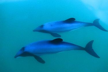 Hector's Dolphin (Cephalorhynchus hectori) mother and calf, Akaroa Bay, New Zealand  -  Tom Walmsley/ npl