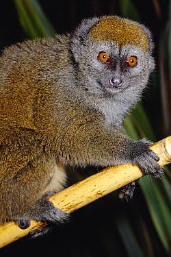 Alaotran Gentle Lemur (Hapalemur griseus alaotrensis) female from Lake Alaotran region, critically endangered, Madagascar  -  Rod Williams/ npl