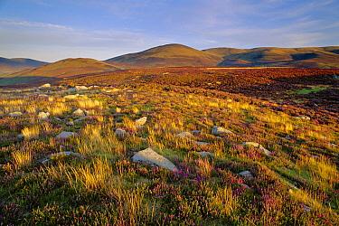 Bracken Fern (Pteridium aquilinum) and heather, Glen Esk, Angus, Scotland  -  Niall Benvie/ npl