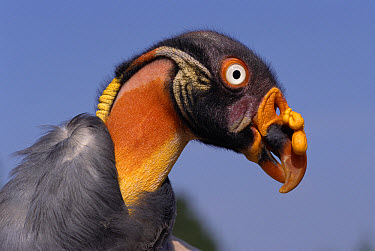 King Vulture (Sarcoramphus papa) female portrait, native to Central and South America  -  Rod Williams/ npl