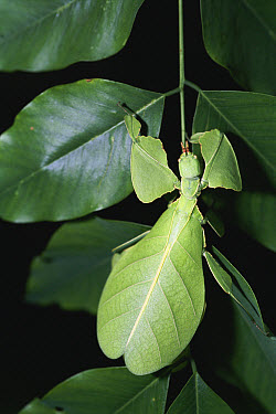 Javanese Leaf Insect (Phyllium bioculatum) camouflaged on guava leaves, Sri Lanka  -  Studio Times Ltd/ npl
