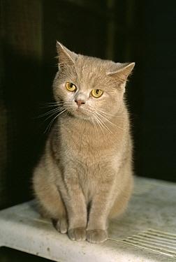 Domestic Cat (Felis catus) British Shorthair kitten, Scotland  -  Colin Seddon/ npl