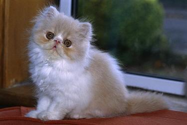 Domestic Cat (Felis catus) cream and white longhair kitten, Scotland  -  Colin Seddon/ npl