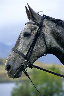 Domestic Horse (Equus caballus) portrait with bridle, Scotland  -  Colin Seddon/ npl