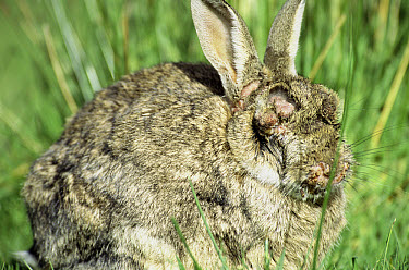 European Rabbit (Oryctolagus cuniculus) infected with myxomatosis, a viral invection that causes blindness and possibly death, Europe, introduced worldwide  -  Colin Seddon/ npl