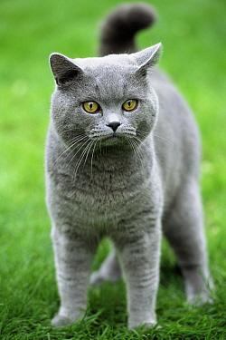Domestic Cat (Felis catus) British Shorthair blue, portrait, Europe  -  Colin Seddon/ npl