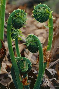 Lady Fern (Athyrium filix-femina) fiddleheads unfurling, Wisconsin  -  Larry Michael/ npl