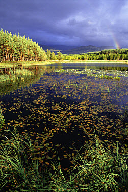 Pine (Pinus sp) forest with storm clouds and rainbow. Loch Neinnan Mhead, Strathspey, Scotland  -  Pete Cairns/ npl