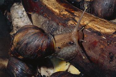 Giant African Snail (Achatina marginata) amid leaf litter, shell can reach 8 inches long, Africa  -  Dan Burton/ npl