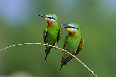 Blue-cheeked Bee Eater (Merops superciliosus) pair perched on twig, Hafeet, Oman, Middle east  -  Hanne & Jens Eriksen/ npl