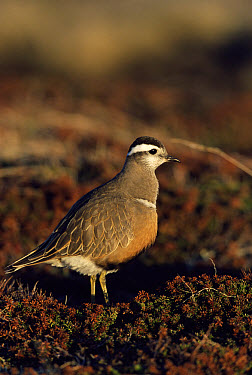 Eurasian Dotterel (Charadrius morinellus) profile in moorland, Varanger Peninsula, Norway  -  George Mccarthy/ npl