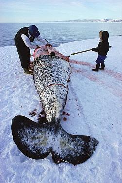 Inuit hunter cuts up dead Narwhal (Monodon monoceros), Arctic Bay, Canada  -  Doug Allan/ npl