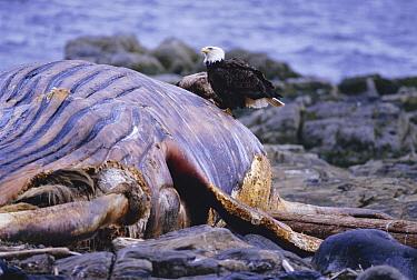 Bald Eagle (Haliaeetus leucocephalus) scavenges on Humpback Whale (Megaptera novaengliae) carcass, Ketchikan Island, Alaska  -  Doug Allan/ npl