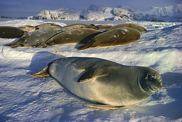 Crabeater Seal (Lobodon carcinaphagus) group on snow, Antarctica  -  Doug Allan/ npl