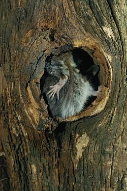 Garden Dormouse (Eliomys quercinus) juvenile pair at nest hole, Germany  -  Klaus Echle/ npl
