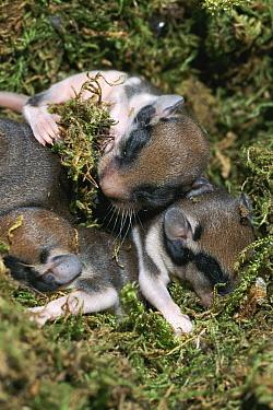 Garden Dormouse (Eliomys quercinus) babies sleeping in nest, hand raised, Germany  -  Klaus Echle/ npl