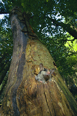 Garden Dormouse (Eliomys quercinus) in Beech Tree, hand raised, Germany  -  Klaus Echle/ npl