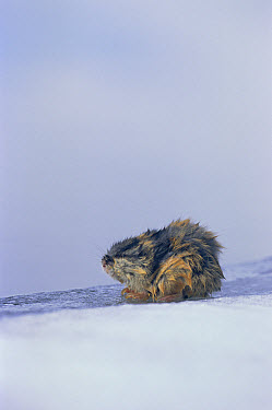Norway Lemming (Lemmus lemmus) in snow, Sweden  -  Bengt Lundberg/ npl