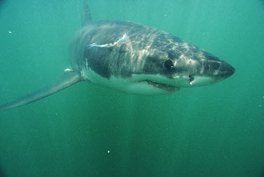 Great White Shark (Carcharodon carcharias) underwater, Dyer Island, South Africa  -  Peter Scoones/ npl
