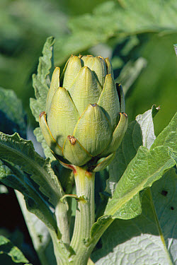 Globe Artichoke (Cynara scolymus) flower, edible and medicinal plant, Spain  -  Jose B. Ruiz/ npl