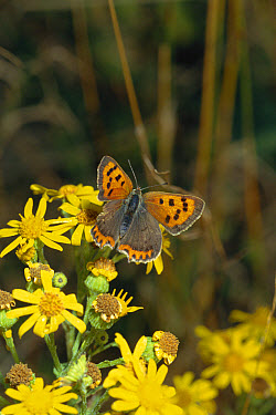 Small Copper (Lycaena phlaeas) on Stinking Willie (Senecio jacobaea) with torn wing, possibly from bird attack, Sussex, United Kingdom  -  George Mccarthy/ npl