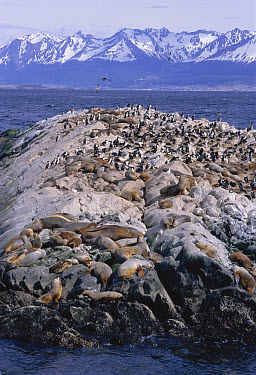 South American Fur Seal (Arctocephalus australis) colony and White-bellied Shag colony (Phalacrocorax atriceps albiventer) on rocks, Beagle Channel, Argentina  -  Daniel Gomez/ npl