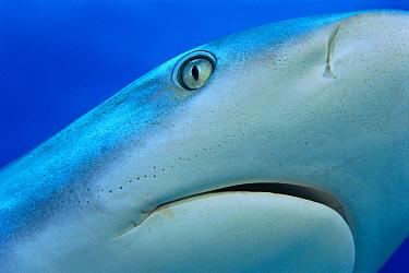 Grey Reef Shark (Carcharhinus amblyrhynchos) close up of eye and mouth, Caribbean  -  Michael Pitts/ npl