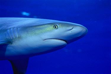 Caribbean Reef Shark (Carcharhinus perezii) portrait, Bahamas, Caribbean  -  Michael Pitts/ npl