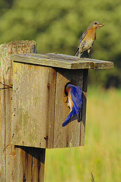 Eastern Bluebird (Sialia sialis) couple with insect prey at nest box, North America  -  Larry Michael/ npl
