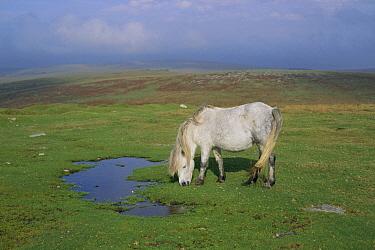 Domestic Horse (Equus caballus), Dartmoor Pony grazing, Dartmoor National Park, Devon, United Kingdom  -  Mike Wilkes/ npl