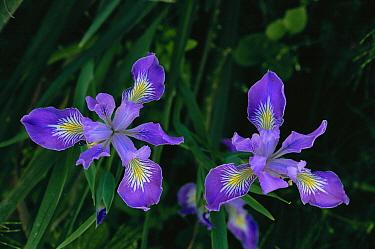 Douglas Iris (Iris douglasiana) pair, Prairie Creek Redwoods State Park, California  -  David Welling/ npl