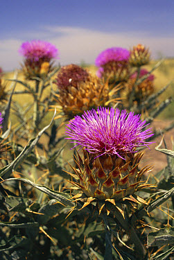 Artichoke Thistle (Cynara cardunculus) introduced in grass seed by Spanish settlers is now a weed in Pampas grasslands displacing native species, Cardo de Castilla, Argentina  -  Daniel Gomez/ npl