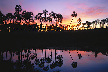 Yatay Palm Tree (Butia yatay) forest and pond at sunset, El Palmar National Park, Argentina  -  Daniel Gomez/ npl