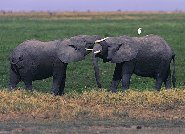 African Elephant (Loxodonta africana) male pair sparring, vulnerable, Amboseli National Park, Kenya  -  Peter Blackwell/ npl