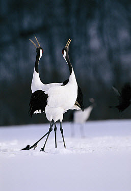 Red-crowned Crane (Grus japonensis) pair in courtship dance, endangered, Akan National Park, Japan  -  David Pike/ npl